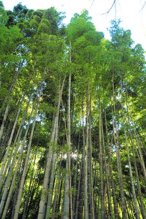 kamakura: Bamboo Grove in Kamakura Stock Photo