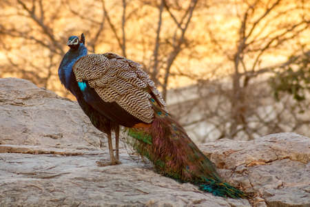 uttar pradesh: A peacock is strolling alone in the early morning looking for something to eatRanthambore  Uttar Pradesh India,  02 2013 Stock Photo