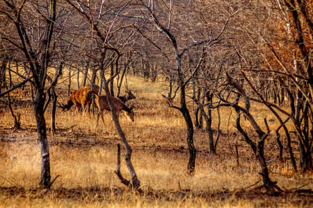 uttar pradesh: Deer grazing grass vigilantly looking for threats, there are tigers in the areaRanthambore  Uttar Pradesh India,  02 2013