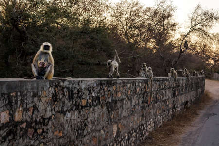 Languor monkey families curiously watch the tourists photographing them while night is creeping closer, perhaps they wonder whether we are relatives or notRanthambore  Uttar Pradesh India,  02 2013 Stock Photo - 27022147