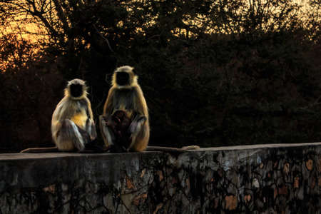Languor monkey families curiously watch the tourists photographing them while night is creeping closer, perhaps they wonder whether we are relatives or notRanthambore  Uttar Pradesh India,  02 2013 Stock Photo - 27022168