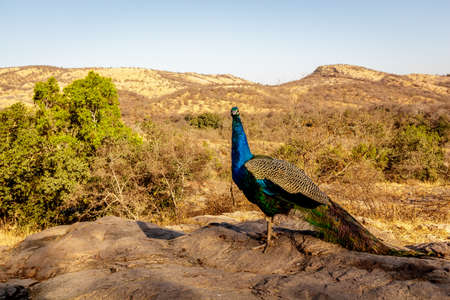 A peacock is strolling alone in the early morning looking for something to eatRanthambore  Uttar Pradesh India,  02 2013 photo