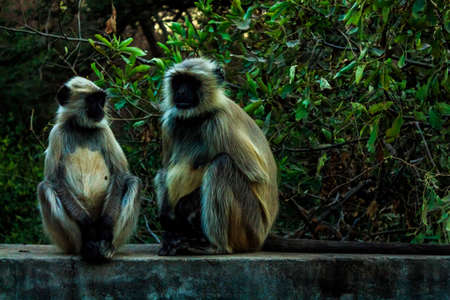 Languor monkey families curiously watch the tourists photographing them while night is creeping closer, perhaps they wonder whether we are relatives or notRanthambore  Uttar Pradesh India,  02 2013 Stock Photo - 27022419