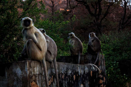 Languor monkey families curiously watch the tourists photographing them while night is creeping closer, perhaps they wonder whether we are relatives or notRanthambore  Uttar Pradesh India,  02 2013 Stock Photo - 27022420