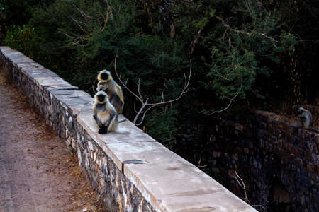 Languor monkey families curiously watch the tourists photographing them while night is creeping closer, perhaps they wonder whether we are relatives or notRanthambore  Uttar Pradesh India,  02 2013 Stock Photo - 27022421