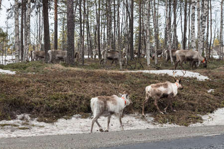 Reindeer wandering back to their summer habitat in the late winter photo