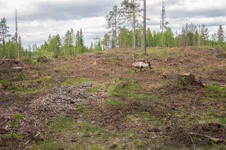 Reindeer staying in the forest instead of wandering up to high mountains where they breed photo