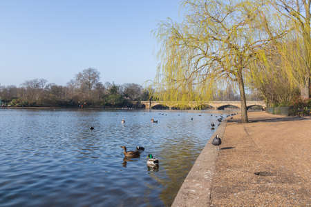 Water birds swim in Hyde Park in springtime photo