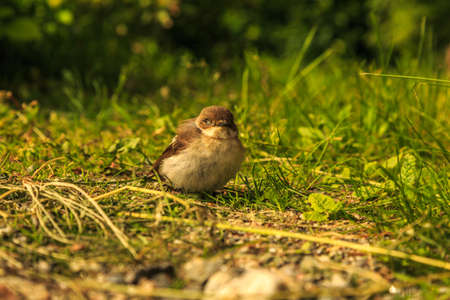 trait: A fieldfare nestling just left its nest and not yet fit for flying Stock Photo