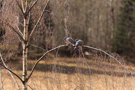 disturbed: Couple of ringdoves taking it easy on a birch branch until disturbed by something Stock Photo