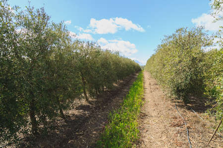 industrious: Plantage of olive trees Stock Photo