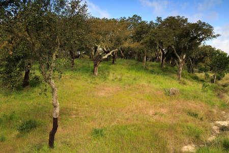cal: Cork oak plantation in Portugal