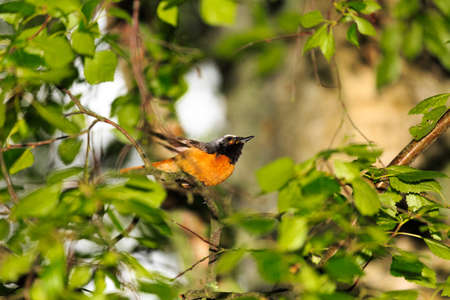 sweden resting: Redstart close to its nest where it has its nestling waiting to be fed Stock Photo