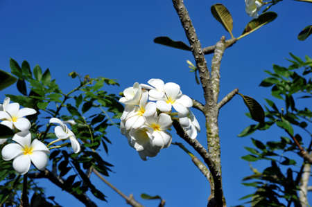 subtropical plants: Frangipani flowers on the tree against the blue sky. Vietnam.