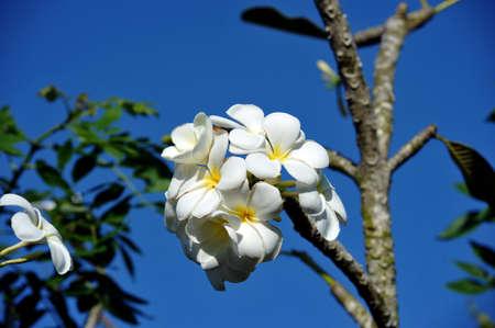 tahitian: Frangipani flowers on the tree against the blue sky. Vietnam.