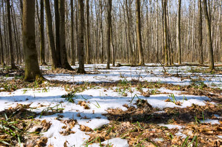 Melting snow in the spring in the forest