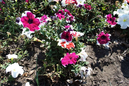 Beautiful petunia flowers. Floral Detail Background Image