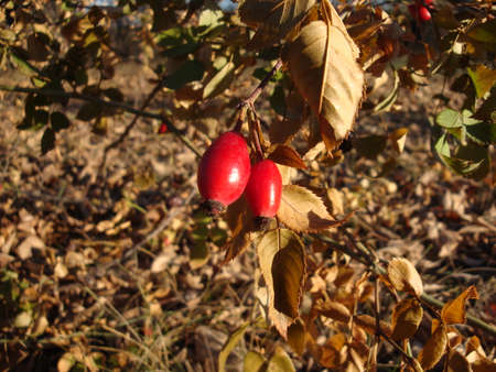 Detailed view of four Rosehips on bushes among the leaves for sunlight autumn day, with blue sky in the background