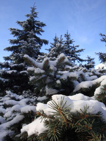 In winter, the snowflakes clung beautifully to the Christmas tree branches. Good New Year spirit. Christmas spirit.
