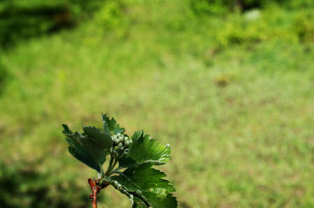 Young light green oak foliage against a on the background of grass or bushes. Nature landsckape