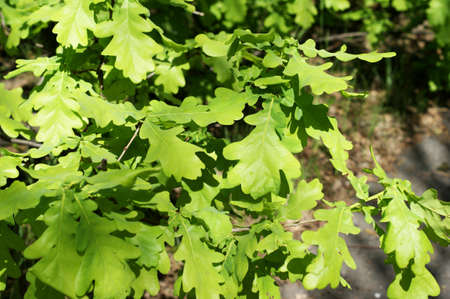 Young light green oak foliage against a on the background of grass or bushes. Nature landsckape Stock fotó - 128600186