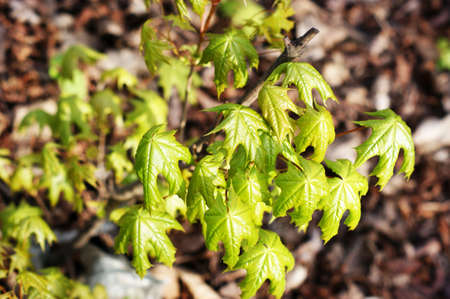 Branch of a tree with very first sprouting leaves in spring against blurred background. Very well recognizable finest fibers of the young leaves. Stock fotó - 128600393