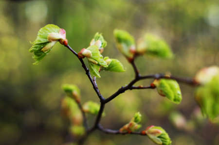 Branch of a tree with very first sprouting leaves in spring against blurred background. Very well recognizable finest fibers of the young leaves. Stock fotó - 128600396