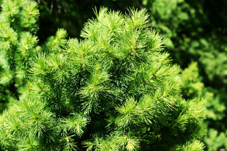 fresh green pine branches in the sunny forest on the background of spring mountains