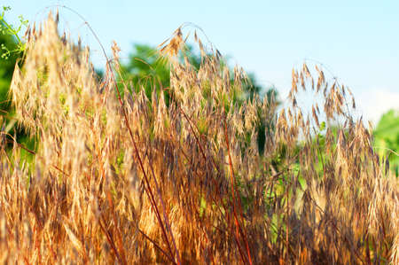 Dry wild grass in nature on a green field against a blue sky