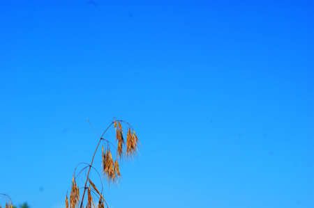 Dry wild grass in nature on a green field against a blue sky Stock fotó - 128601459
