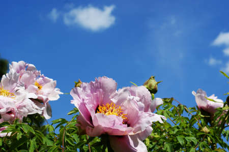 Blooming tea rose on a blue background with clouds - for postcard Фото со стока