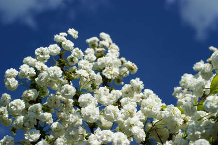 White flowers in the wild against a blue sky with white clouds, white paper flowers decorative background