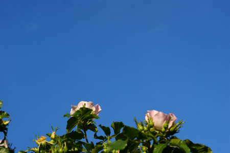 Romantic wild roses with free space for text on blue sky background Stock Photo