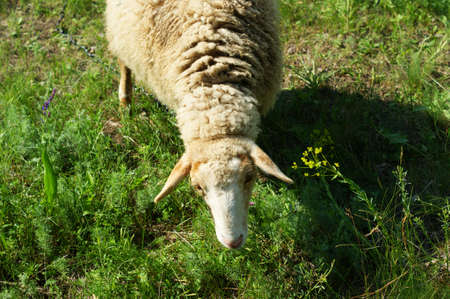 One sheep in the meadow eats green grass 免版税图像