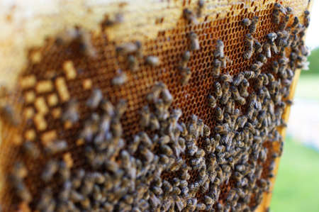 Close up view of the working bees on honeycells. Bees on honeycombs with honey Imagens - 130727568