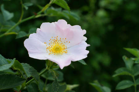 Wild Roses Pink Bush Close Up Macro Green Leaves Rosa Canina 写真素材