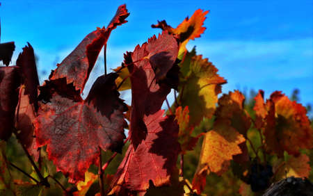 Red autumn grape leaves, abstract autumnal background: close up of red grape leaf
