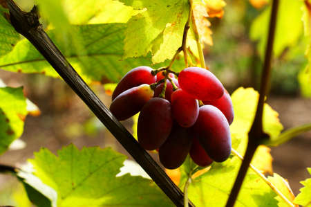 Bunch of grapes on a vine in the sunshine. The winegrowers grapes on a vine - red wine Stock fotó