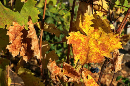 Photo of grape leaves background, autumn harvest season, warm yellow sunbeam through fresh tree leaves, vineyard valley, fruit plant, farming nature, fall foliage, autumnal grapes branch