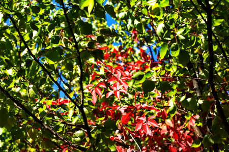 Colorful leaves of wild grapes. Red leaves on a vine twine a tree. Autumn colored leaves in the sun. Creative copy space Stock fotó