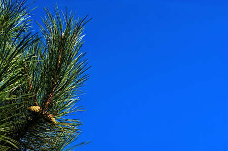 Christmas tree branches with cones on a background of blue sky close-up