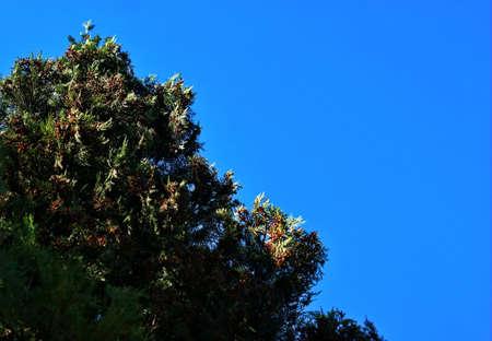 Fir tree brunch close up. Shallow focus. Fluffy fir tree brunch close up. Copy space.