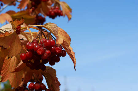 The branches are covered with beautiful delicious berries. Just captured one autumn morning