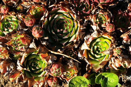 Top view of Sedum, A close-up of small pant on the ground, Pink and green sprouts for a colourful naturel background.