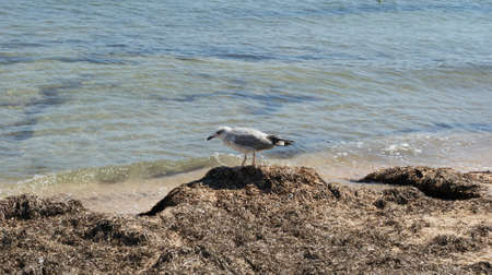 A seagull walking in shallow water near the sea shore, flying and swimming seagulls. It's a sandy beach Stok Fotoğraf - 159730509