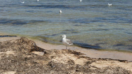 A seagull walking in shallow water near the sea shore, flying and swimming seagulls. It's a sandy beach