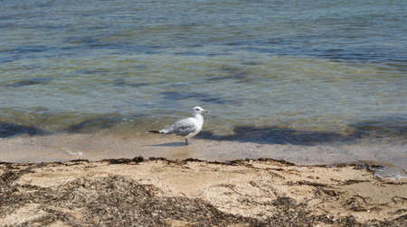 A seagull walking in shallow water near the sea shore, flying and swimming seagulls. It's a sandy beach Stok Fotoğraf - 159730512
