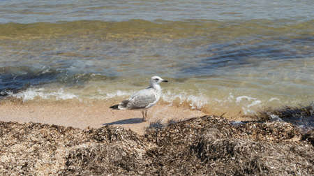 A seagull walking in shallow water near the sea shore, flying and swimming seagulls. It's a sandy beach Stok Fotoğraf - 159730514
