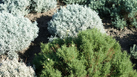 Beautiful bushes in the botanical garden. Great background for congratulations or gardening stories Reklamní fotografie