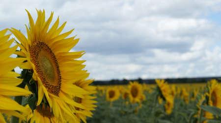 Sunflowers garden. Sunflowers have abundant health benefits. Sunflower oil improves skin health and promote cell regeneration. Stok Fotoğraf - 159853849